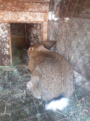 Животные - Кара-Балта: Продаю кролята 2.5 м 13 штукпо 250 сом.3,кролихи 900 сом.крол 130