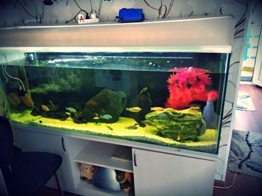 Bakı şəhərində Akvarium. Uzunlugu: 1,50 sm , eni: 40sm, hundurluyu 60sm. Altligi ve