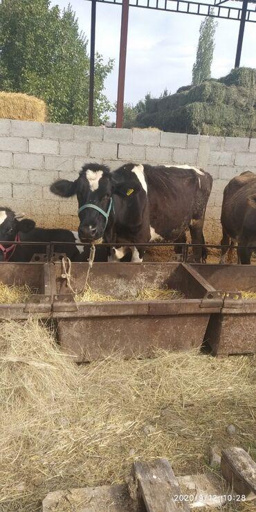 С/х животные - Кок-Ой: Продаю корову. Первый отель. Молочная