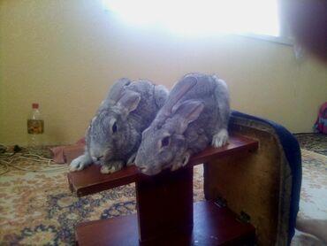 продам-крольчат в Кыргызстан: Продам или обмен на большую кролика