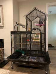 African grey great parrot his name is Buddy he 2 years old very clever σε Adamantas