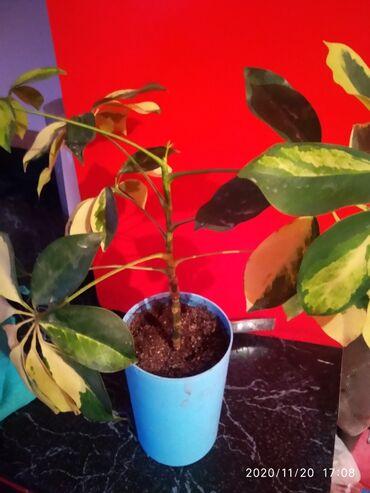 Комнатные растения - Сокулук: Шефлера вариегатная