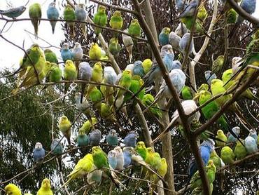 Продаются волнистые попугаи всех цветов огромный выбор волнистых