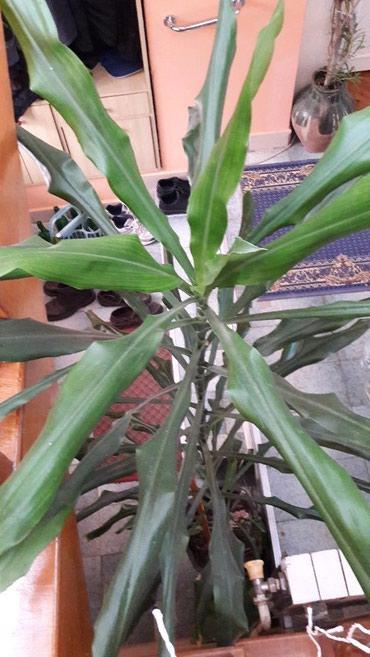 Sobna biljka preko 2 m visine, ukrasna za velike prostore, - Krusevac