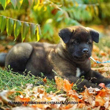 Продаётся щенок! порода: Американская акита (большая японская собака)