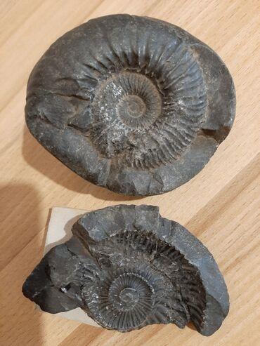 Древние окаменелости с Гималаев, аммонит