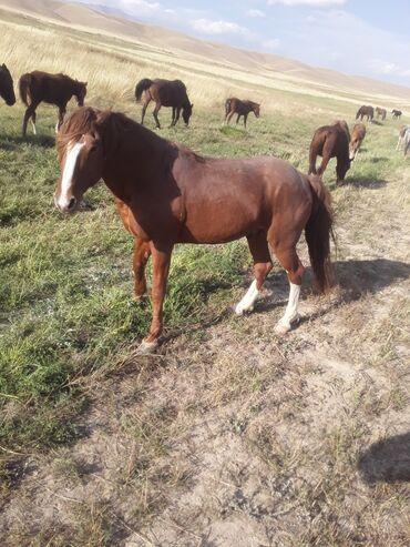 25 объявлений | ЖИВОТНЫЕ: Продаю | Конь (самец) | Кара Жорго | Рабочий, Конный спорт