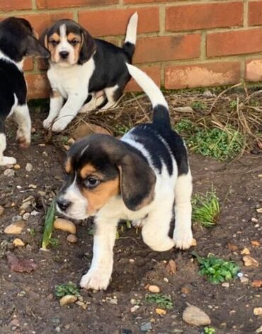 Πώληση κουτάβια Beagle Εκπληκτικά σκουπίδια κουταβιών Beagle προς πώλη