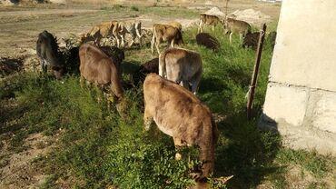 Животные - Бактуу-Долоноту: Продаю | Тёлка, Телёнок | Полукровка, Алатауская | Для разведения | Племенные
