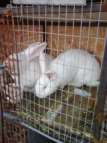 С/х животные - Кок-Ой: Крольчата 40дней. папа фландр мама нзб. 300 сом