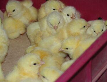 сдаю дом токмок в Кыргызстан: ️️️Продаю суточных цыплят бройлеров  (звонить-писать)