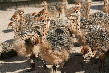 Животные - Сретенка: Продаю страусят месячные, от 10 шт, в наличии 50 шт