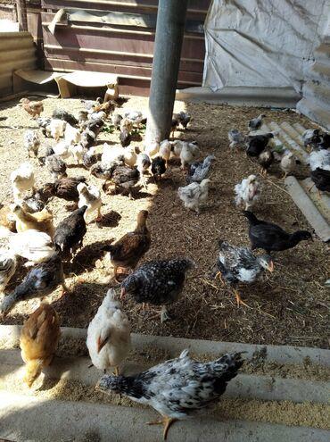 Животные - Шопоков: Продаю цыплят 4х месячные скоро начнут нести.В сокулуке срочно