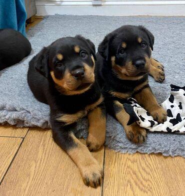 Κουτάβια Rottweiler, έτοιμα να φύγουν τώρα, μόνο 2 αγόρια διαθέσιμα, ι