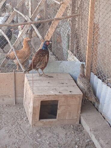 Животные - Заря: Продаются фазаны самец и самка дальневосточные