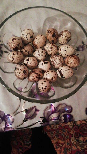 31 объявлений: Свежие перепелиные яйца