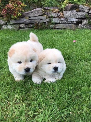 Beautiful Male and female Chow Chow Needs New home σε Central Tzoumerka