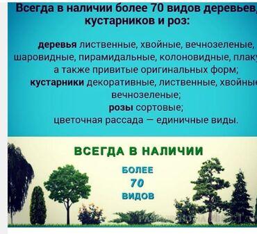 продам почки в Кыргызстан: Продаю декоративные кустарники, хвойные, плодовые деревья, имеются