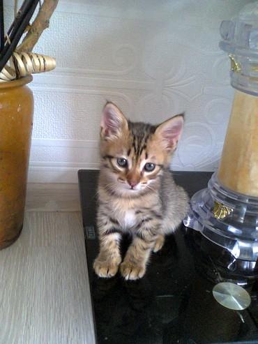 Bakı şəhərində Продаются котята, метисы, мама Ангора,