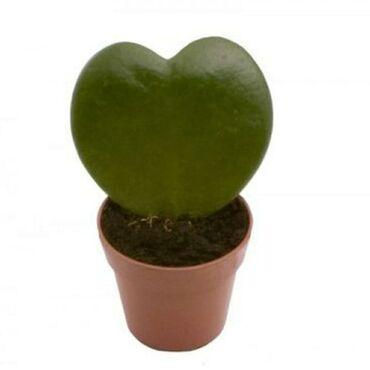 Растение: Хойя Керри.(Сердечка)Производитель: НидерландыЦена: 15