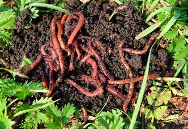 Продажа Калифорнийских червей+бесплатная консультация от практикующих