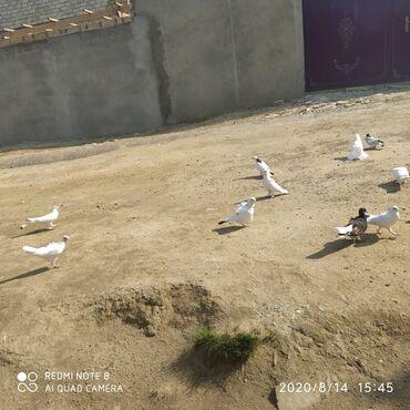 ebres - Azərbaycan: 180 AZN satılır 40eded quşdu qarabaş ebres de var içlerinde qusxana