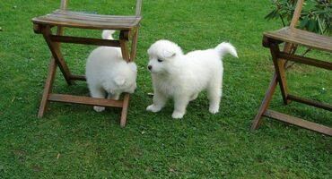 Πωλούνται κουτάβια Samoyed Nice.Τα κουτάβια Samoyed, καθαρόαιμα, 11