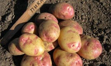 Продаю семена картофеля Пикассо (Picasso) в Бишкек