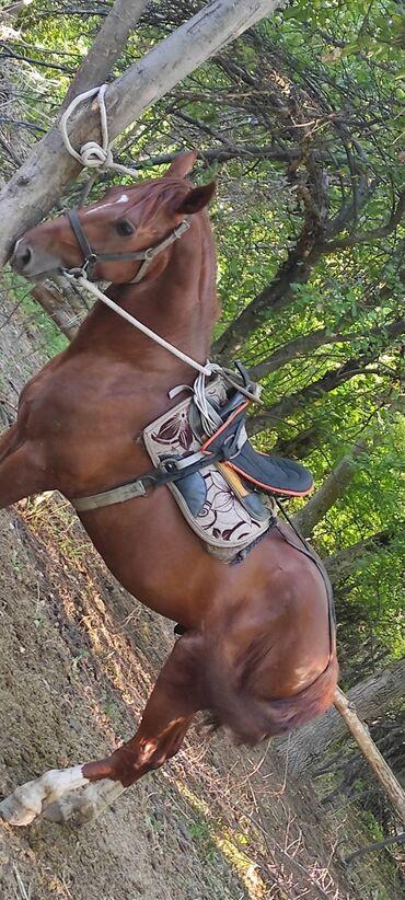 Животные - Джалал-Абад: Продаю | Конь (самец) | Конный спорт