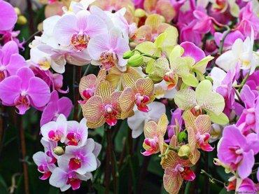 Орхидея  -  оптовая цена!!!прекрасный в Бишкек