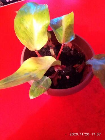 Комнатные растения - Сокулук: Медуза