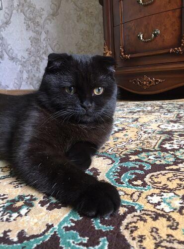 Коты - Азербайджан: Cutlesdirir. Erkek. Scottish Fold
