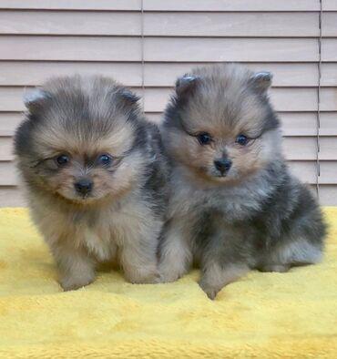 Πώληση κουτάβια PomeranianPomeranian κουτάβια για υιοθεσία αρσενικά