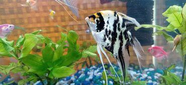Животные - Заречное: Продаю рыбок хорошие крупные две скалярии и две золотые ! Самка самец