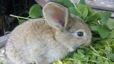 Продаю крольчат фландр 1 мес 300 сом в Бишкек