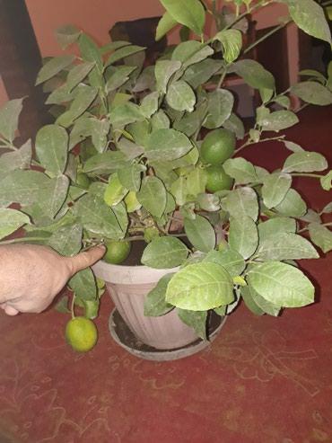 Лимон с плодами 5 штук в Сокулук