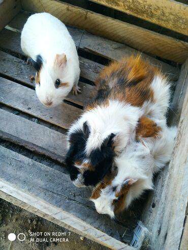 Грызуны - Беловодское: Морские свинки