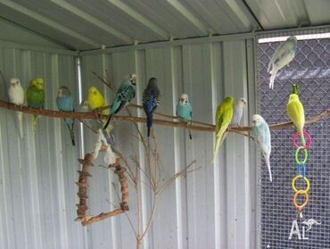 Волнистые попугаи.  Их можно легко научить говорить, сделать ручными🦜