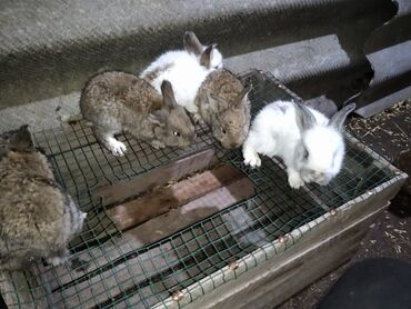 Грызуны - Кыргызстан: Продоются 5 кролят помесь великана с бабочкой: кролята будут готовы