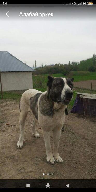 Собаки - Базар-Коргон: Алабай эркек