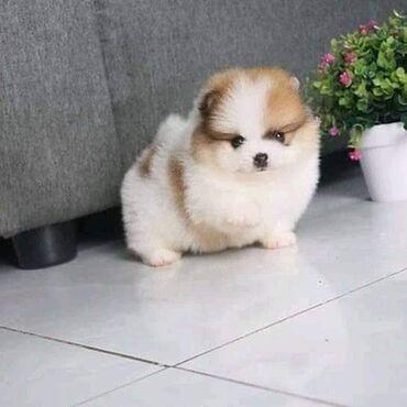 Kc Beautiful PomeranianΤο τελευταίο μας αγόρι είναι αριστερό, τόσο