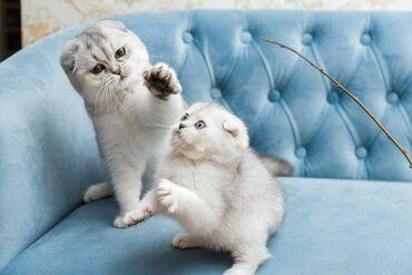 Γενεαλογικό σκωτσέζικο γατάκιΤα όμορφα γατάκια Fold Scottish Fold