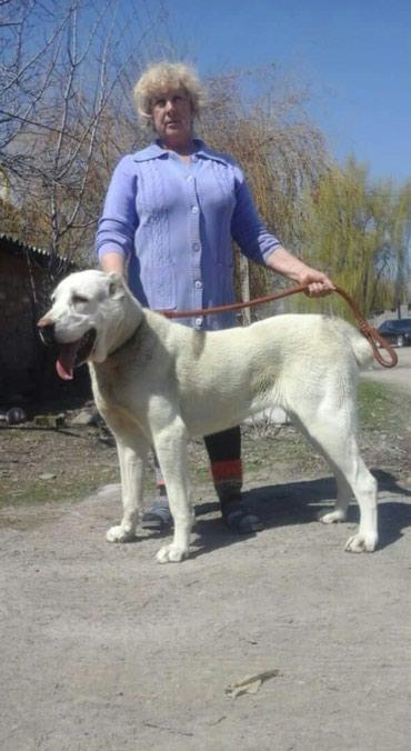 Продаю щенка породы САО алабай в Бишкек