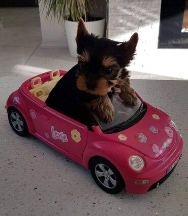 Mladunci Yourkshire TerierProdajem 2 ljupka psića iz tvojeg svijeta