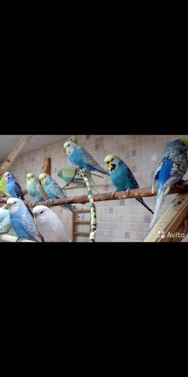 Синенькие попугайки по 500 сом не дорого также домики и клетки