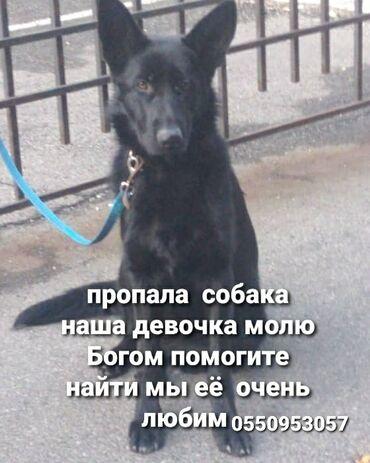 Собаки - Кыргызстан: Пропала собака помогите пожалуйста может кто то видел или знает где е