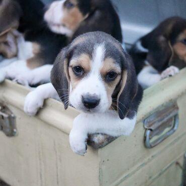 Θαυμάσια κουτάβια Beagle για υιοθεσίαΥπέροχη υιοθέτηση κουταβιών