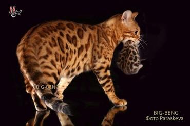 бенгальская кошка домашняя в Кыргызстан: Просто Бенгальская кошка и этим много сказано она заполнит ваш дом
