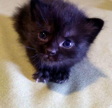 Kućni ljubimci - Srbija: Poklanjam crne macice Molim samo ozbiljne i odgovorne da se jave