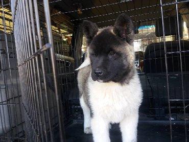 акита ину американская в Кыргызстан: Продаются щенки породы: Американская акита. На данный момент щенкам 3